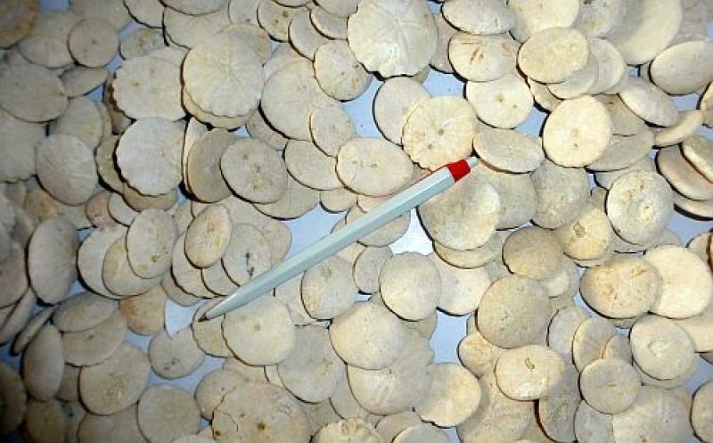 Seeigel, flach, rund, Marokko, 100 Stück