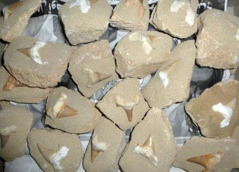 Haifischzähne, groß, in Matrix, Marokko, 10 Stück