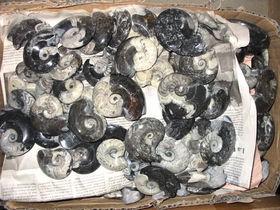 Goniatiten, beidseitig poliert, ca. 6 cm, Marokko, 1 Stück