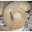 Ammoniten 45 - 60 cm, roh, präpariert, Marokko, 1 Stück