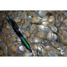 Fossile Koralle, rund/oval, ca. 4 cm mit Loch als Anhänger, 100 Stück