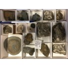 """Ammoniten """"Pleuroceras"""" etc., Lias, Buttenheim, Unterstürmig, D., 1 Steige"""