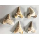 Haifischzähne, ergänzt, 5-6 cm, Marokko, 1 Stück