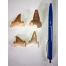 Haifischzähne, 3 cm, Marokko, 100 Stück