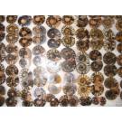Ammoniten Paare, poliert, 2-4 cm, 1 Paar