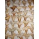 Haifischzähne, groß, Marokko, 1 Stück