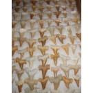 Shark teeth, small, Morocco, 100 pieces