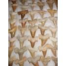 Shark teeth, large, Morocco, 100 piece