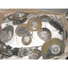 Ammonites polished, 5-8 cm, 1 piece