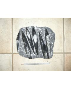 Orthoceras Platte, ca. 20 - 25 cm, Marokko, 1 Stück