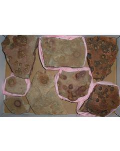Fossilien, präkambrisch (Albumarid/Skinnera sp., etc.), Nama Formation, Namibia, 1 Steige