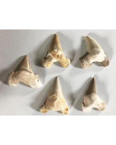 Haifischzähne, ergänzt, 7 cm, Marokko, 50 Stück
