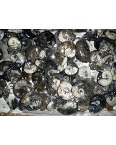 Goniatites, polished both sides, app. 8 cm, Morocco, 1 piece